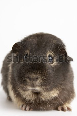 Guinée porc blanche studio animal cute fond blanc Photo stock © monkey_business