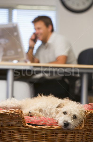 Stock photo: Dog lying in home office with man in background