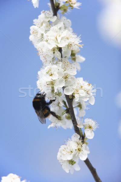 Bumblebee Collecting Pollen From Apple Blossom Stock photo © monkey_business