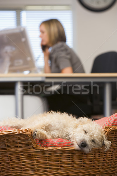 Dog sleeping in home office with woman in background Stock photo © monkey_business