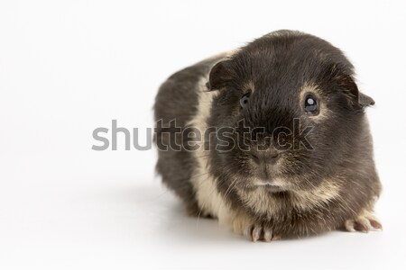 Cavia bianco studio pet cute orizzontale Foto d'archivio © monkey_business