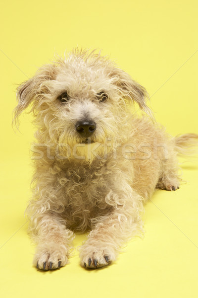 Small Mongrel Dog Sitting In Studio Stock photo © monkey_business
