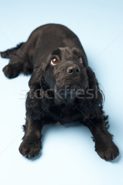 Black Spaniel Puppy In Studio Stock photo © monkey_business