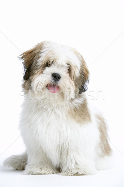 Lhasa Apso Dog Sitting Down Stock photo © monkey_business