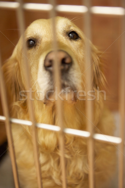 Golden Retriever Dog In Cage At Veterinary Surgery Stock photo © monkey_business