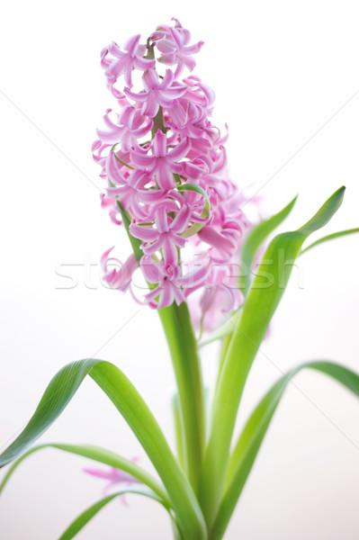 美しい ピンク 花 春 自然 庭園 ストックフォト © Moravska