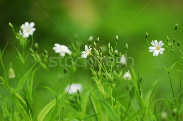 Primavera grama flores brancas borrão foco natureza Foto stock © Moravska