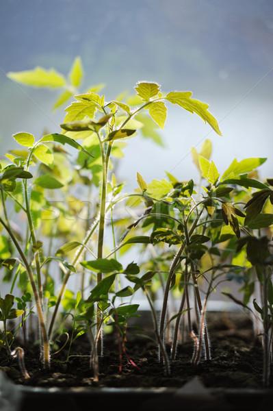 Domates fidan büyüyen konteyner pencere gıda Stok fotoğraf © Moravska