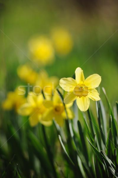 Beautiful yellow narcissus in spring garden Stock photo © Moravska