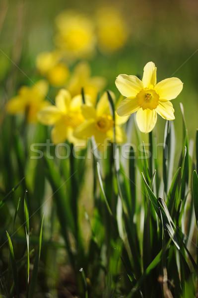 Primavera tempo narcisos completo florescer jardim Foto stock © Moravska