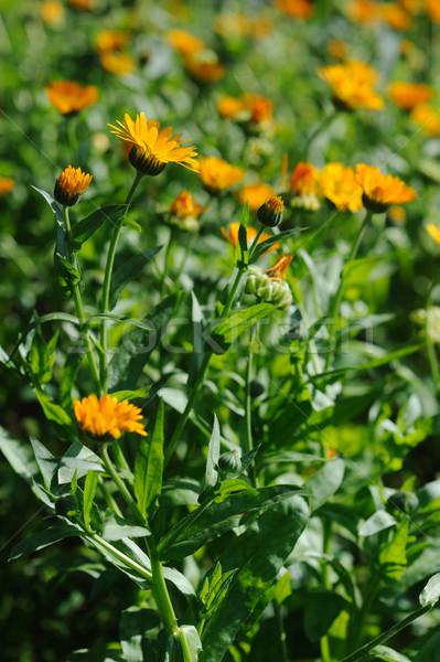 Beautiful herbal calendula field in spring time with sun rays Stock photo © Moravska