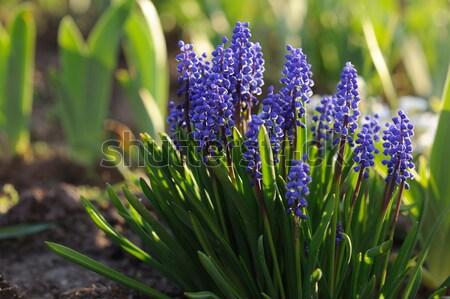 Jacinto primavera jardim flor grama natureza Foto stock © Moravska