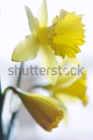 Closeup beautiful yellow narcissus bouquet Stock photo © Moravska