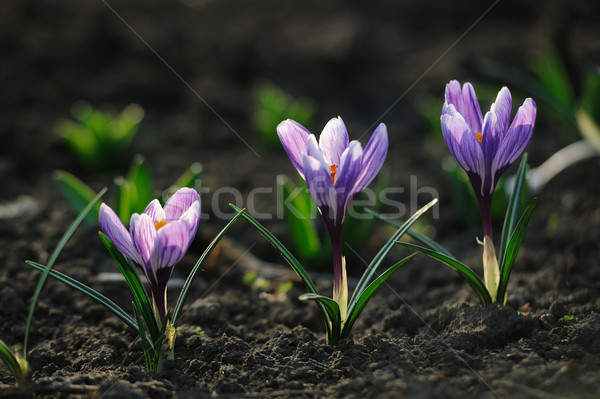 Crocus flower in the field Stock photo © Moravska