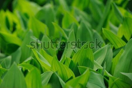 Naturalismo fresco folhas verdes lírio vale sol Foto stock © Moravska