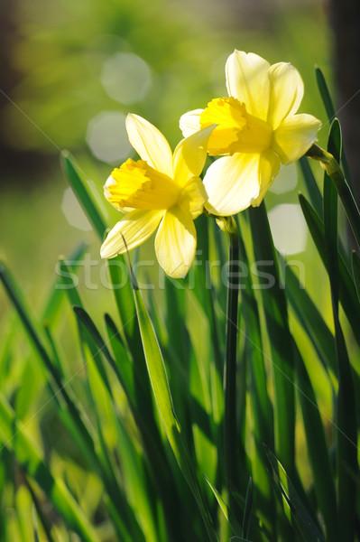 Belo amarelo narcisos primavera luz do sol Foto stock © Moravska