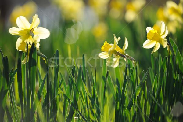 Foto stock: Belo · amarelo · primavera · jardim · ensolarado
