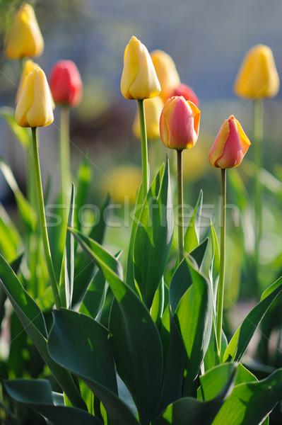 Beautiful tulips in spring time Stock photo © Moravska