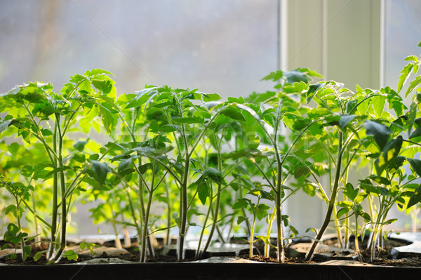 Tomatoes seedlings growing in a container on the window Stock photo © Moravska