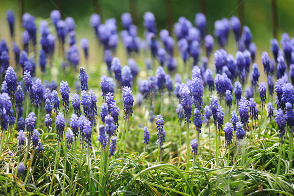 Muscari hyacinth in a spring garden Stock photo © Moravska