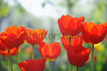 Beautiful tulips field in spring time with sun rays Stock photo © Moravska