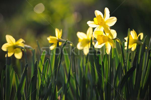 Belo amarelo primavera jardim ensolarado Foto stock © Moravska