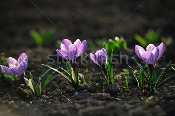 Kikerics virágmező tavasz fű zöld tél Stock fotó © Moravska