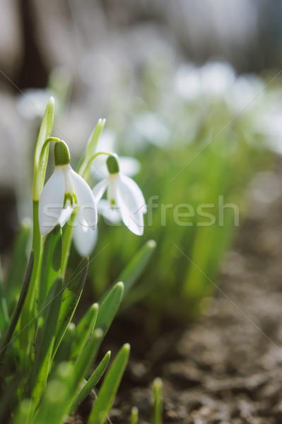Gyönyörű fehér fókuszált tavasz kert virág Stock fotó © Moravska