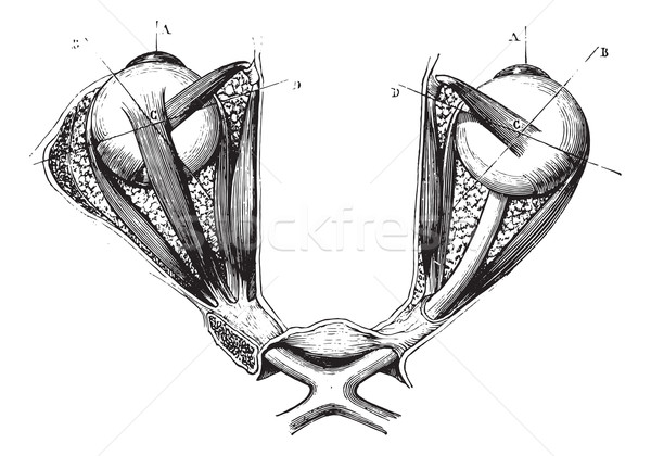 Optic chiasm and eye muscles, vintage engraving Stock photo © Morphart