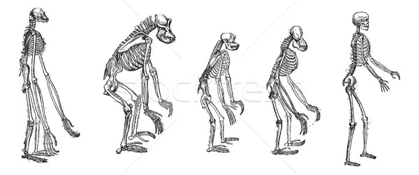 The comparison of greatest apes skeletons with human skeleton vi Stock photo © Morphart