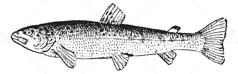 Common Trout or Salmo trutta, vintage engraving Stock photo © Morphart
