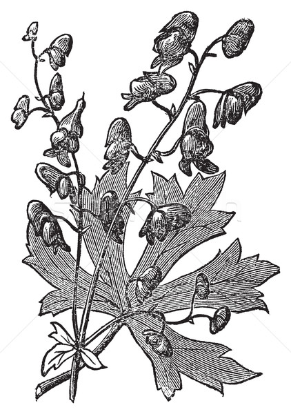 Flower of Monkshood or Aconitum napellus engraved illustration. Stock photo © Morphart