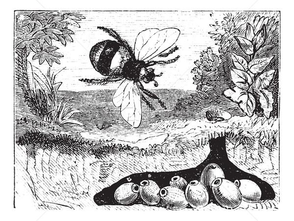 Bombus terrestris or buff-tailed bumblebee, bumblebee, nest, vin Stock photo © Morphart