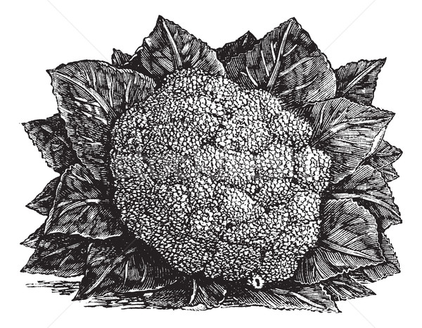 Broccoli or Brassica oleracea vintage engraving Stock photo © Morphart