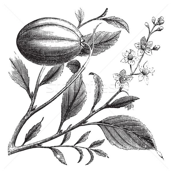 Stock fotó: Klasszikus · vésés · öreg · gravírozott · illusztráció · növény