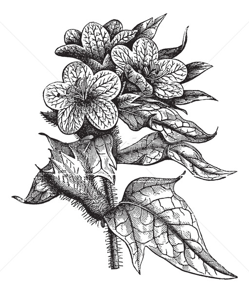 Henbane or Hyoscyamus niger vintage engraving Stock photo © Morphart