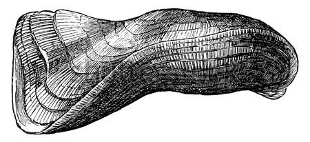 Common ling or Molva molva vintage engraving Stock photo © Morphart