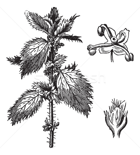 Stinging nettle or Urtica urens, with the staminate flowers and  Stock photo © Morphart