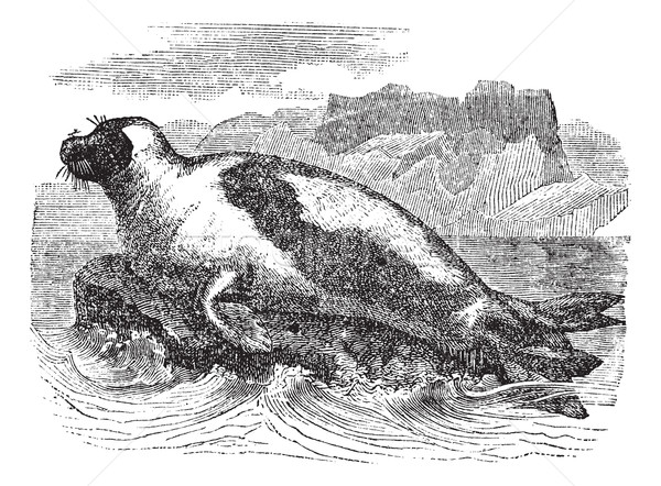 Harp seals (Phoca groenlandica) or Saddleback seal, vintage engr Stock photo © Morphart