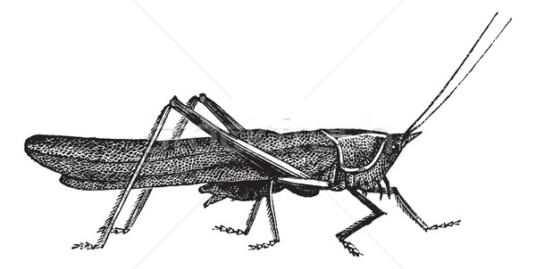 Meadow grasshopper or Chorthippus parallelus vintage engraving Stock photo © Morphart