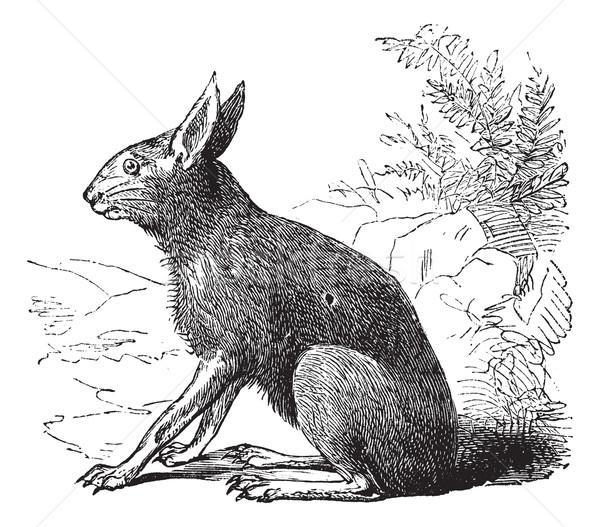 Stock photo: Patagonian Mara or Dolichotis patagonum, rodent, vintage engravi