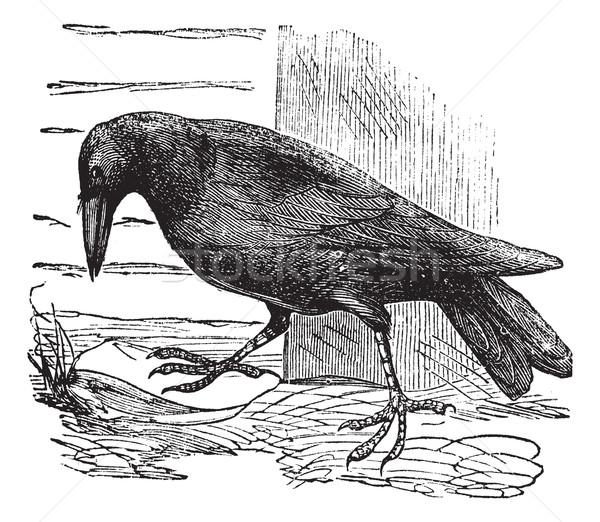 Raven or Corvus sp. vintage engraving Stock photo © Morphart