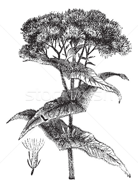 Joe-pye weed or Eutrochium sp., vintage engraving Stock photo © Morphart