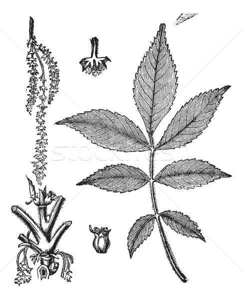 Blatt Stengel Blume Jahrgang Gravur alten Stock foto © Morphart