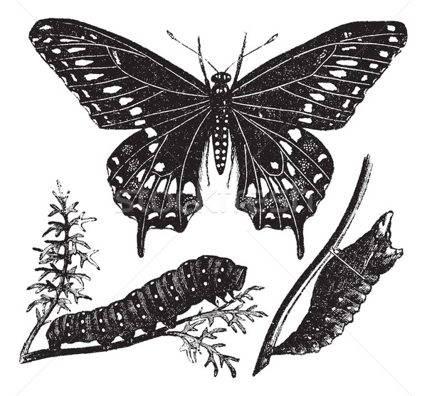 Black Swallowtail Butterfly or Papilio polyxenes, vintage engrav Stock photo © Morphart