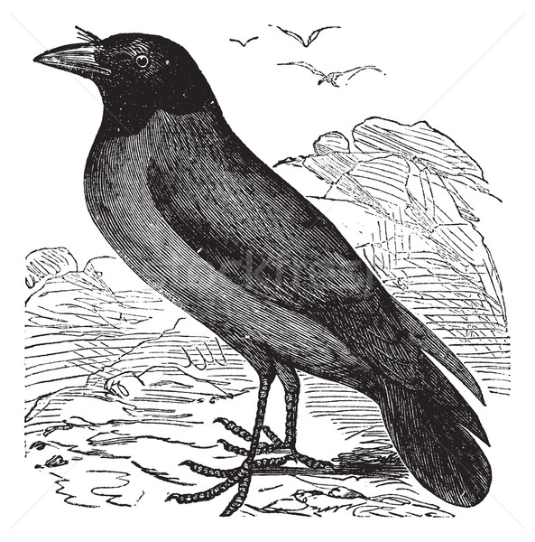 Hooded Crow or Hoodiecrow or Corvus cornix vintage engraving Stock photo © Morphart
