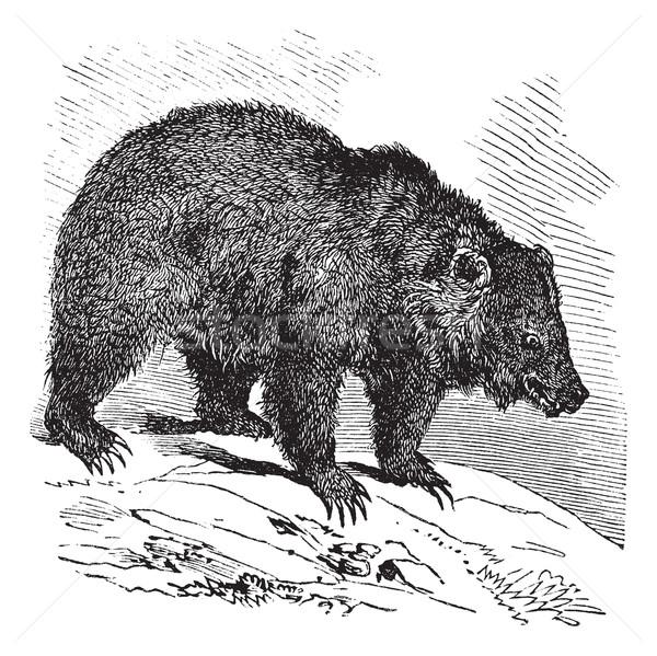 JACK Bear (Ursus horribilis), vintage engraving Stock photo © Morphart