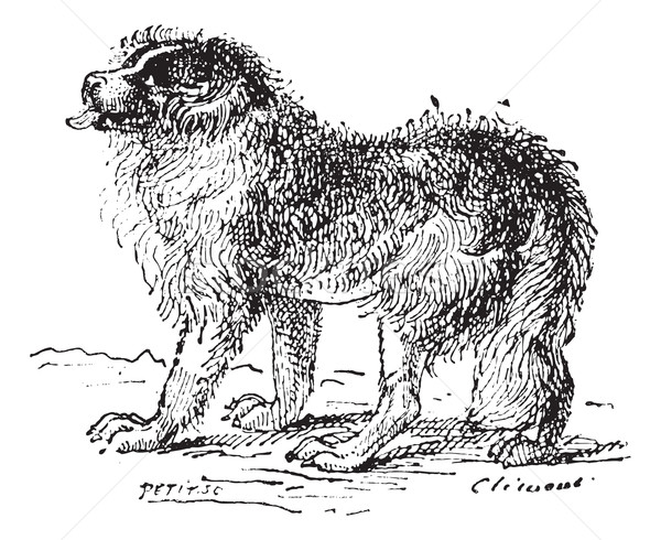 Newfoundland dog, vintage engraving. Stock photo © Morphart