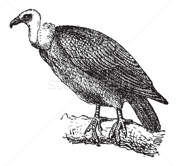 Griffon Vulture or Gyps fulvus, vintage engraving Stock photo © Morphart