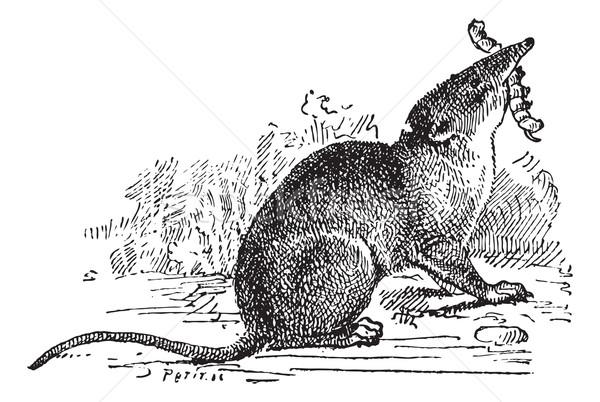 Säugetier Jahrgang Gravur graviert Illustration Wörterbuch Stock foto © Morphart